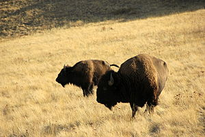 American Bison Society - American bison ranging at the National Bison Range, which was established thanks to petitioning and fundraising by the American Bison Society