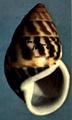 Amphidromus perversus butoti sultanus shell.png