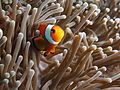 Amphiprion ocellaris at Nusa Kode.JPG