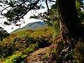 An Old Pine - panoramio.jpg