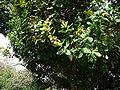 Anacardium occidentale 0001.jpg
