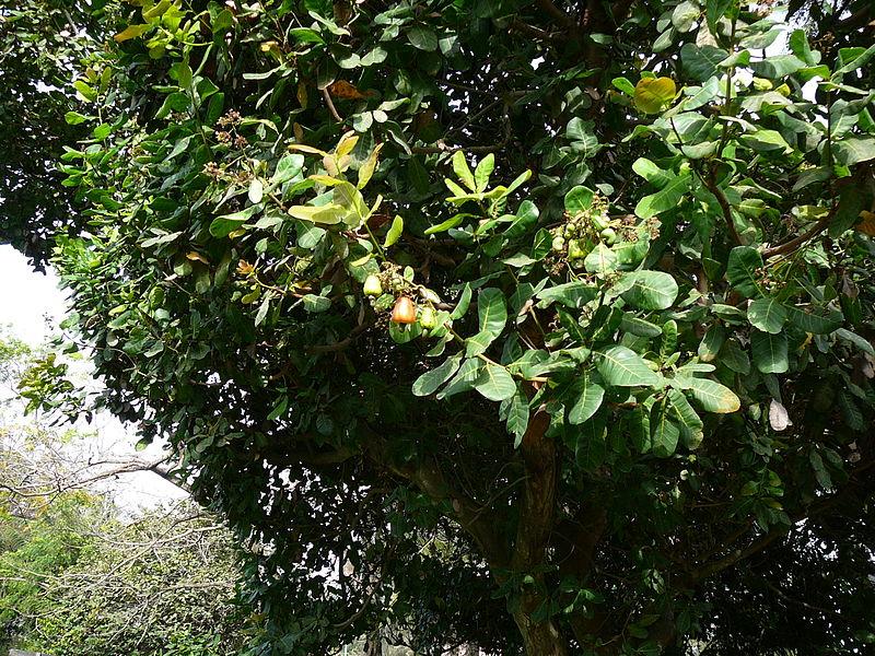 Archivo:Anacardium occidentale 0001.jpg