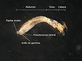 Anatomia Simuliidae abdomen.jpg