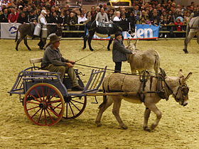 Rubens du Colombier, âne de provence, présenté attelé au salon international de l'agriculture 2013 à Paris.