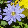 Anemone blanda, Jardín Botánico de Múnich, Alemania, 2013-05-04, DD 01.jpg