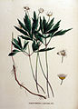 Anemone nemorosa — Flora Batava — Volume v16.jpg
