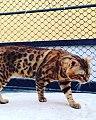 Angel padreador do Gatil Fascination Bengals.jpg