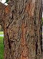 Angophora floribunda - trunk bark.jpg