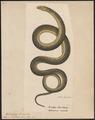 Anguis ventralis - 1700-1880 - Print - Iconographia Zoologica - Special Collections University of Amsterdam - UBA01 IZ12500099.tif