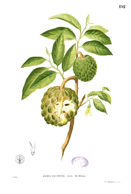 Zimtapfel (Annona squamosa), Illustration