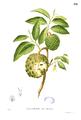 Annona squamosa Blanco1.192.png