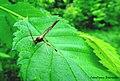 Anomaloninae sp. (Ichneumonidae) on Ulmus americana (Ulmaceae).jpg