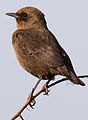 Ant-eating Chat (or Southern Anteater-chat), Myrmecocichla formicivora at Rietvlei Nature Reserve (13937296294).jpg