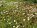 Anthemis vulgaris Habitat 2013-2-03 SierraMadrona.jpg