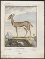 Antilope dorcas - 1700-1880 - Print - Iconographia Zoologica - Special Collections University of Amsterdam - UBA01 IZ21400055.tif