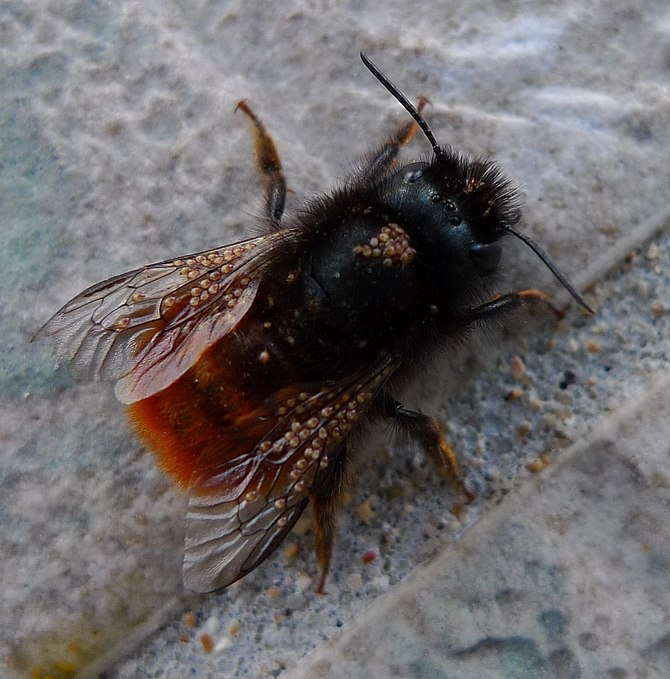 English: kind of mason bee, perhaps Osmia corn...