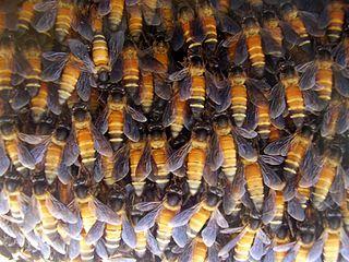 Danse des abeilles dans ABEILLES 320px-ApisDorsataHive
