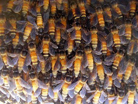 Lebah tualang