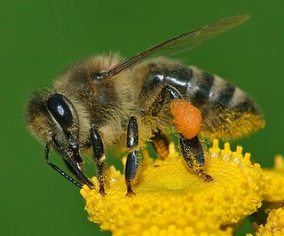 Western honey bee species of insect