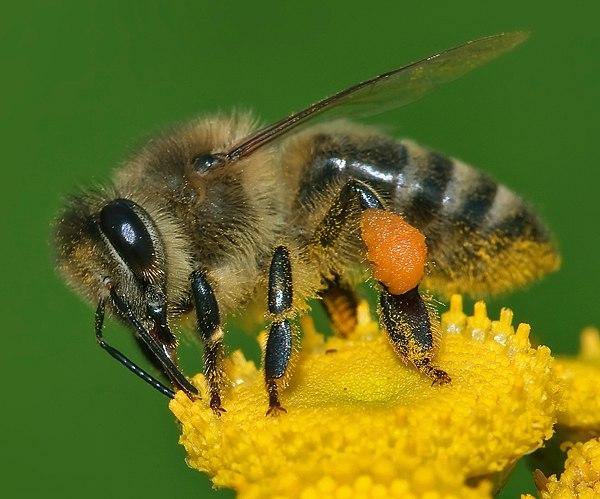 http://hrvatskifokus-2021.ga/wp-content/uploads/2016/09/upload.wikimedia.org_wikipedia_commons_thumb_4_4d_Apis_mellifera_Western_honey_bee.jpg_600px-Apis_mellifera_Western_honey_bee.jpg