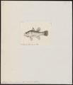 Apogon novae guineae - 1832 - Print - Iconographia Zoologica - Special Collections University of Amsterdam - UBA01 IZ13000044.tif