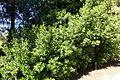 Apollonias barbujana - Jardín Botánico de Barcelona - Barcelona, Spain - DSC09146.JPG