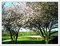 April Kirsch Blüte - Master Seasons Rhine Valley 2013 cherry blossom - panoramio.jpg