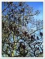 April Magnolia grandiflora Freiburg Botanischer Garten - Master Botany Photography 2013 - panoramio (13).jpg