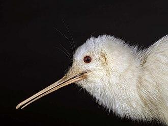 North Island brown kiwi - A rare white Apteryx mantelli