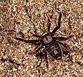 Arachnida, Ricinulei, Cryptocellus goodnighti (2532156079).jpg