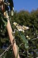Araujia sericifera - Fleurs-5.jpg