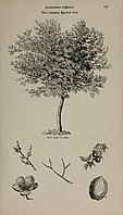 Arboretum et fruticetum britannicum, or - The trees and shrubs of Britain, native and foreign, hardy and half-hardy, pictorially and botanically delineated, and scientifically and popularly described (14597257918).jpg