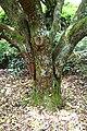 Arbutus unedo in Auckland Botanic Gardens 01.jpg