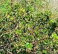 Arctostaphylos edmundsii 4.jpg