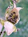 Arenaria roja-fruit-&-seeds-1.jpg