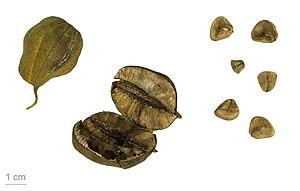 Aristolochia clematitis - Aristolochia clematitis - MHNT