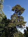 Arkesden Scots Pine Essex, England 1.jpg