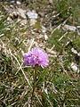 Armeria alpina 002.jpg
