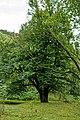 Arnoldov, památný strom Arnoldovská lípa 01.jpg