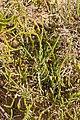 Arthrocnemum macrostachyum - Fuerteventura 003.jpg
