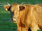 Arzua. A Castanheda. Galiza. vaca.jpg