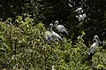 Asian openbill stork (Anastomus oscitans) from Ranganathittu Bird Sanctuary JEG4044.JPG