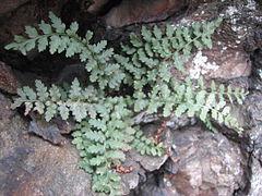 240px asplenium bradleyi tuft