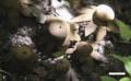 Astraeus sirindhorniae 1C.png
