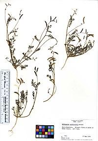 Astragalus acutirostris (5947349096).jpg