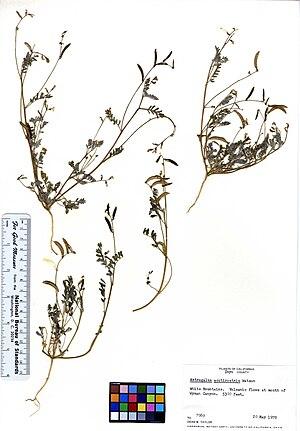 Astragalus acutirostris - herbarium specimen