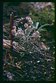 Astragalus purshii var. ophiogenes pods in southern Idaho.jpg
