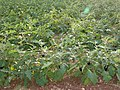 Aubergine field-cyprus hg.jpg