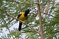 Audubon's Oriole National Butterfly Center Mission TX 2018-03-04 15-20-12 (26810201498).jpg