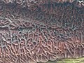 Auricularia mesenterica 111337374.jpg